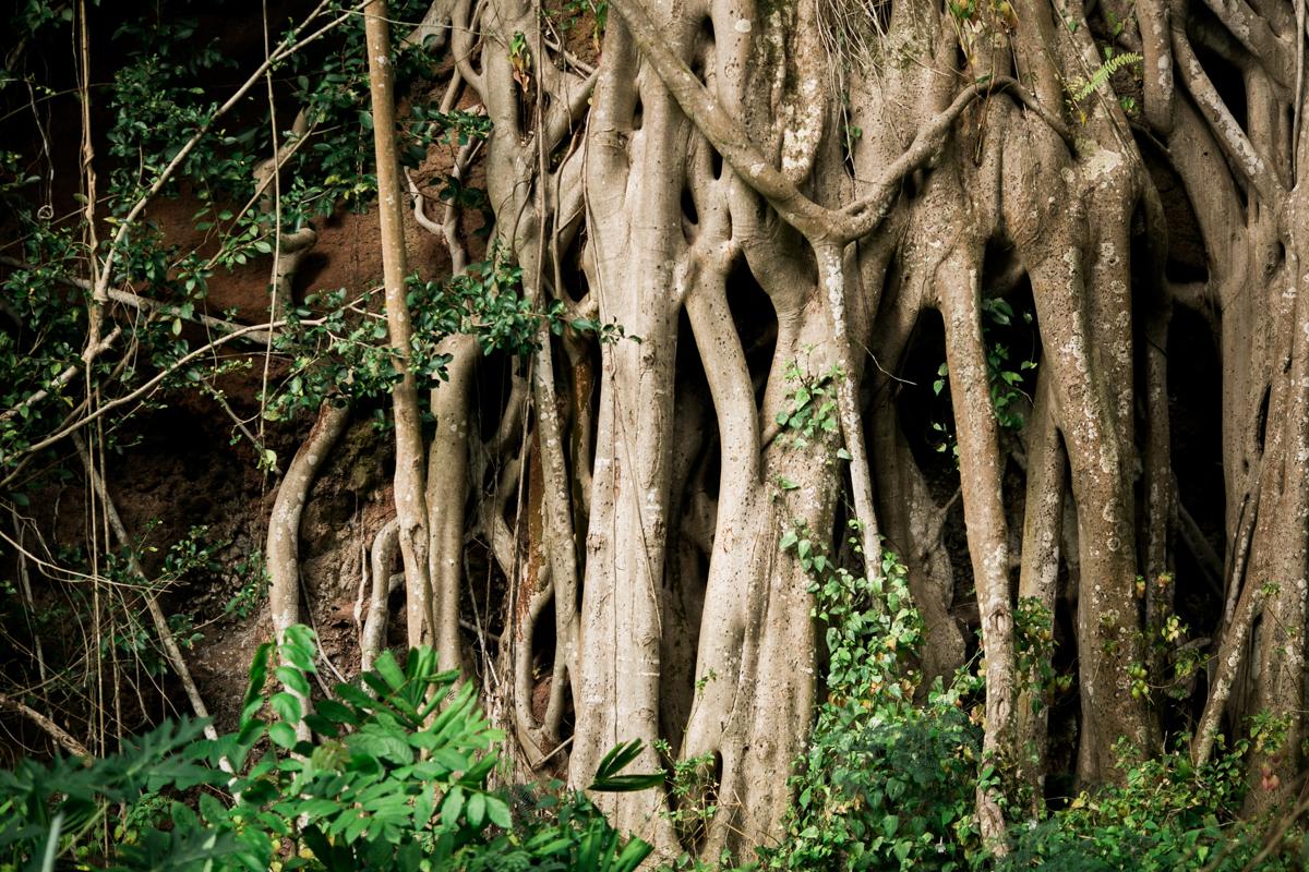 haleiwa wedding photographers banyan trees