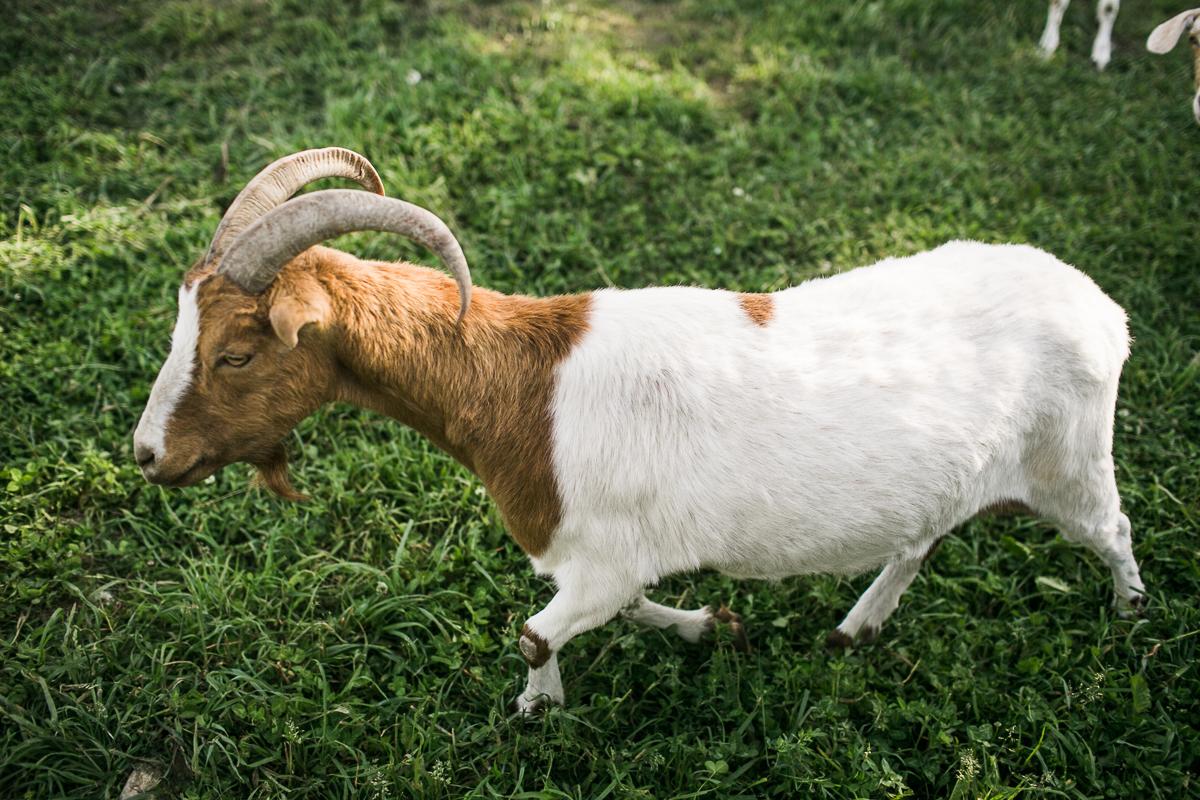goat south pond farms ontario